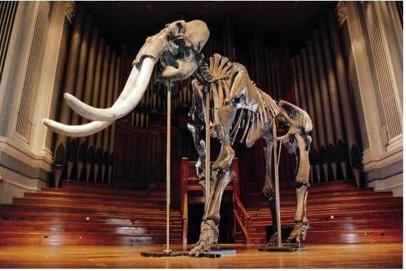 Скелет древнего слона возрастом около 800 тысяч и более лет, привезенный в Австралию М.М. Овчинниковым на выставку, которой до этого не видел никто в стране. Скелет был найден в 250 км к западу от г. Новосибирск.