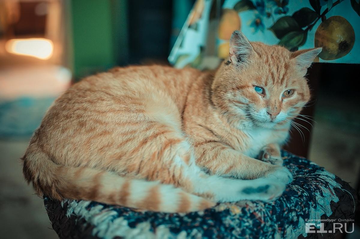 А вот у рыжего кота в доме староверов нрав не мирный — глаз повредил в кошачьих боях